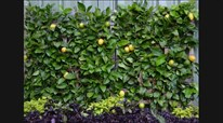 Espalier Citrus Fruit Trees